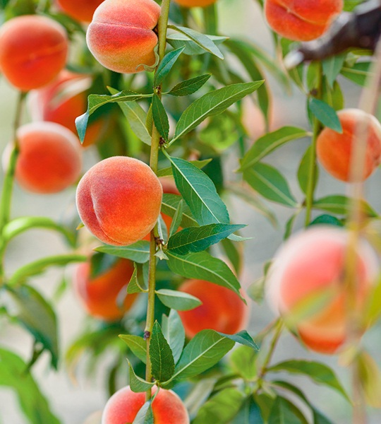 peaches images, photos - Harry & David