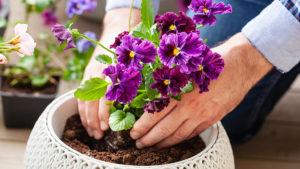 man gardener planting pansy, lavender flowers in flowerpot in ga