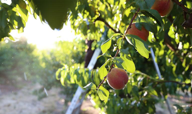 peach-harvest