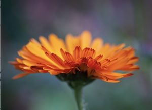 October birthday image - calendula